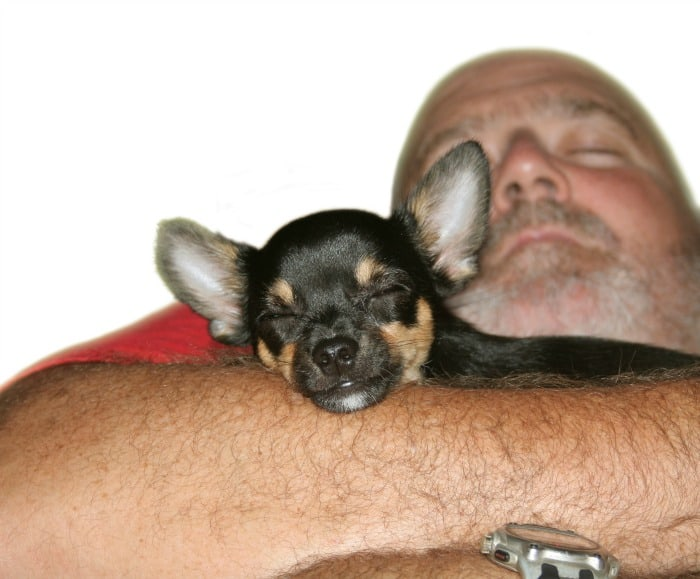 man sleeping with chihuahua