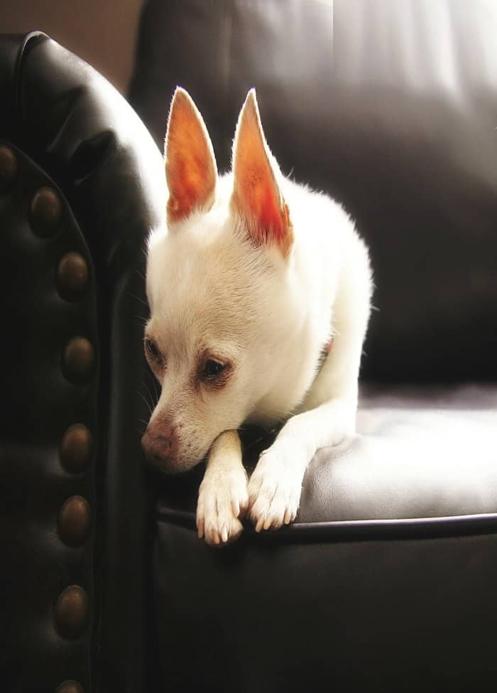 sick chihuahua laying on couch