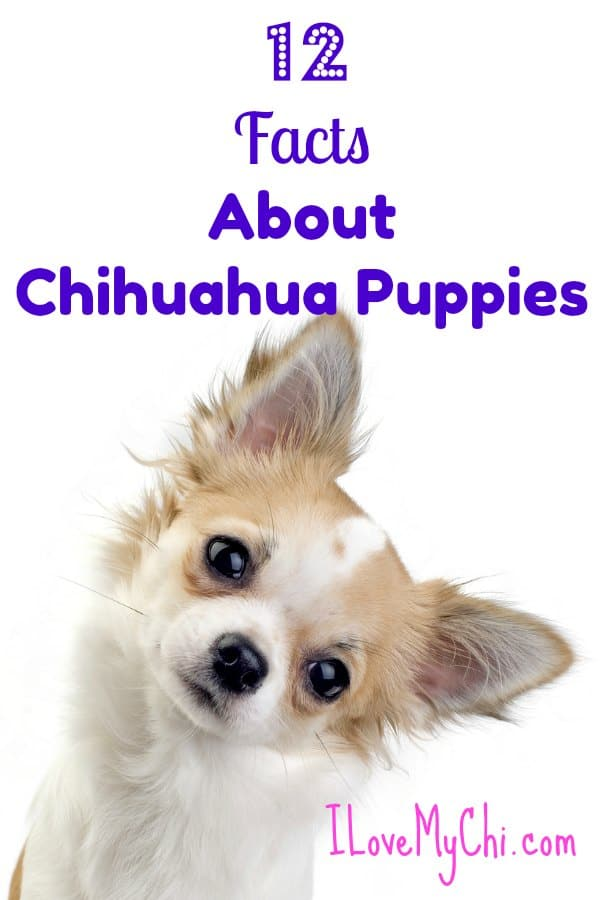 12 Facts About Chihuahua Puppies I Love My Chi