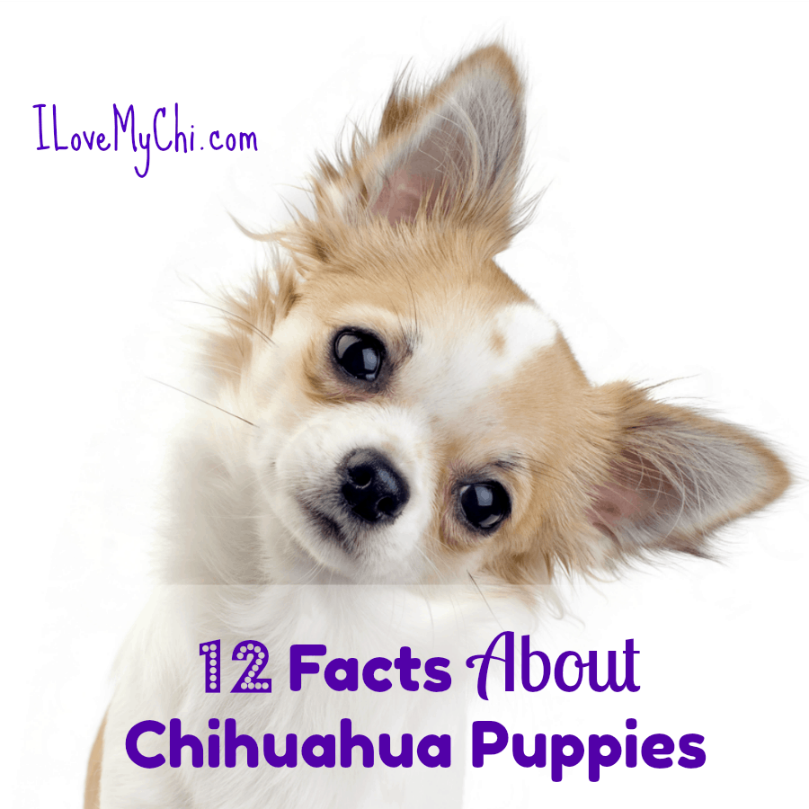 chihuahua puppy tilting head