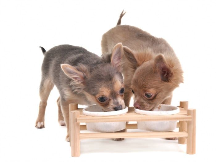 2 chihuahua pups eating