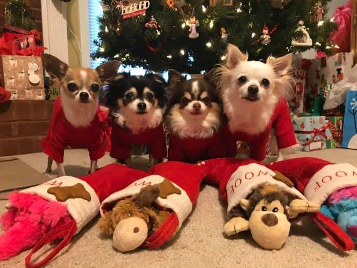 4 Christmas chihuahuas