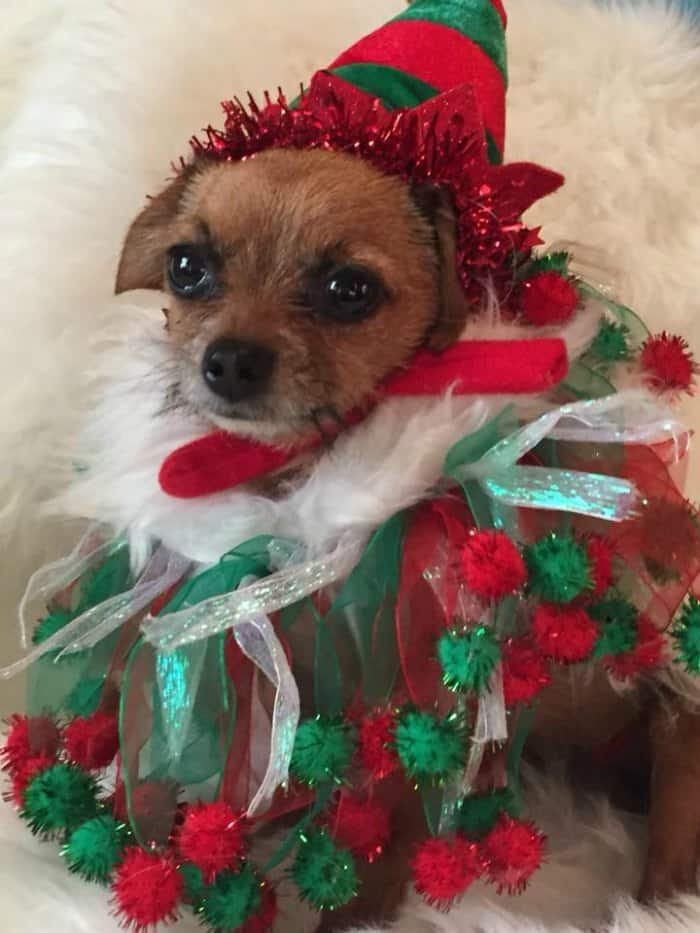 chihuahua in elf costume