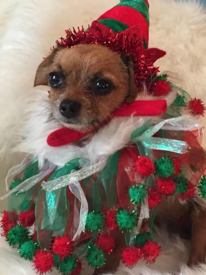 chihuahua in elf costume