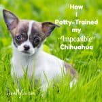 "How I Potty-Trained my ""Impossible"" Chihuahua"