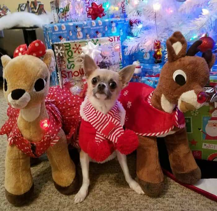Christmas chihuahua
