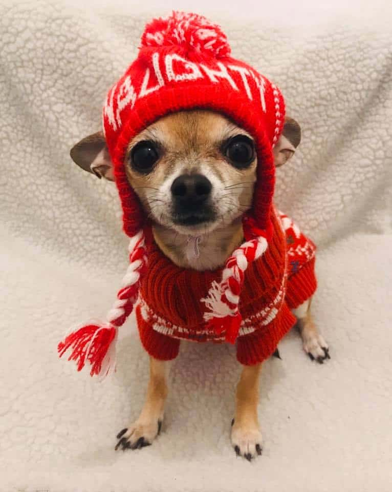 cute Christmas chihuahua