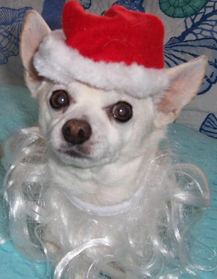 chihuahua with Santa beard