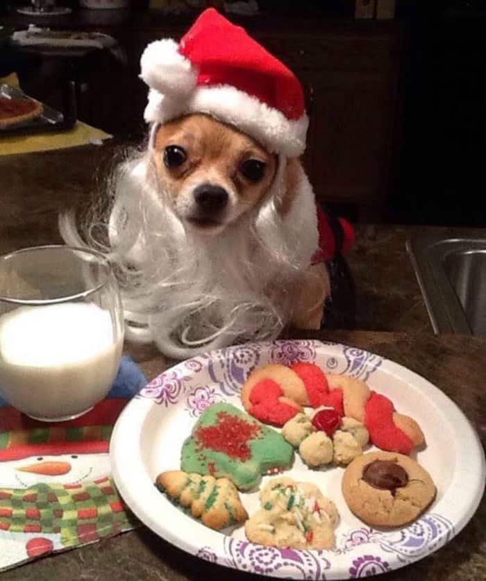 chihuahua wearing Santa outfit