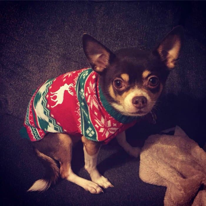 chihuahua in Christmas sweater