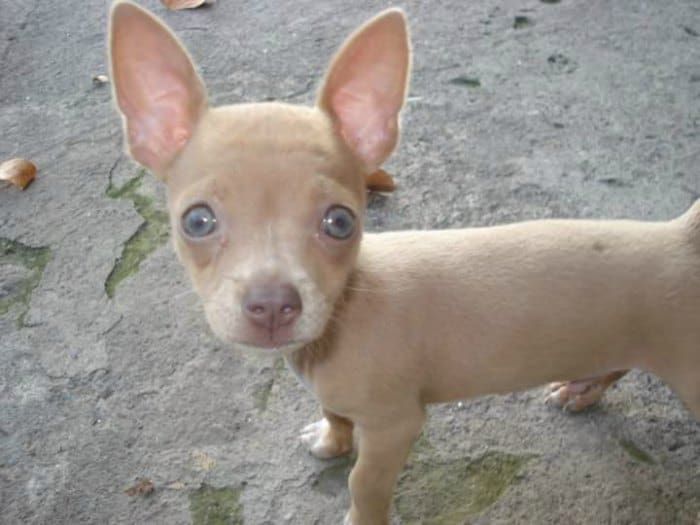 blue eyed chihuahua puppy
