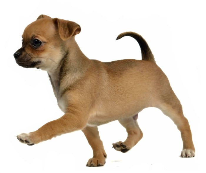 floppy ear tan chihuahua puppy