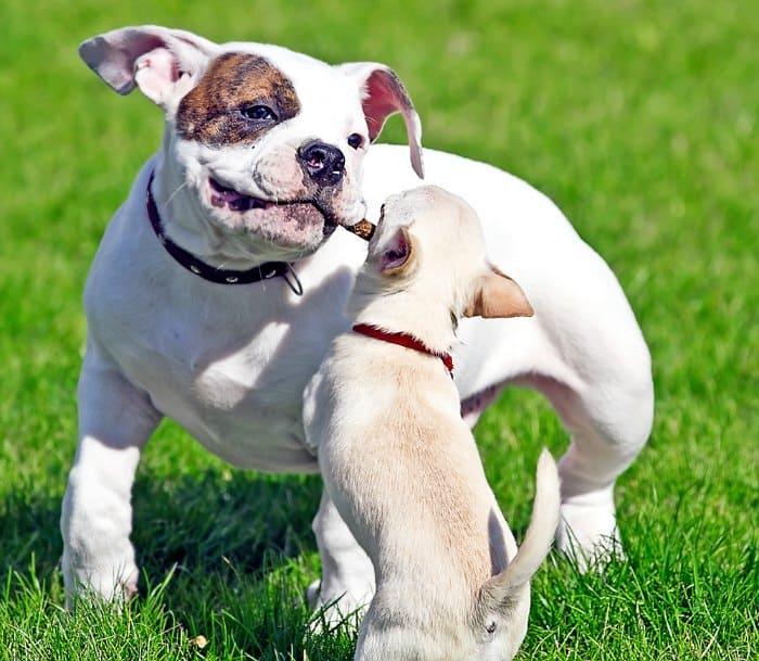 chihuahua pup playing big dog