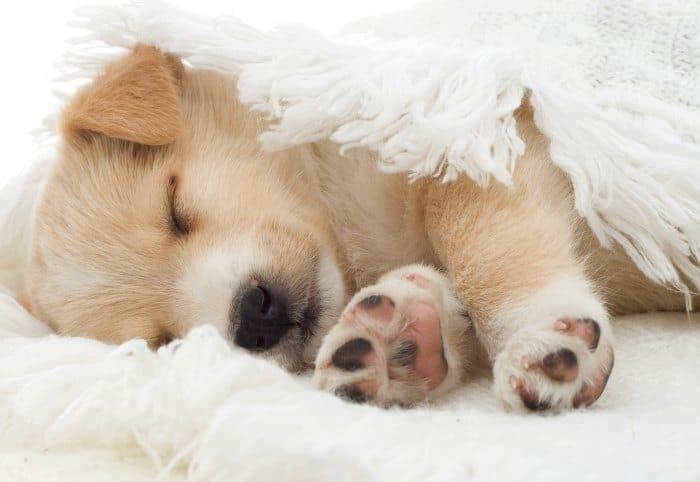 sleeping beige chihuahua pup