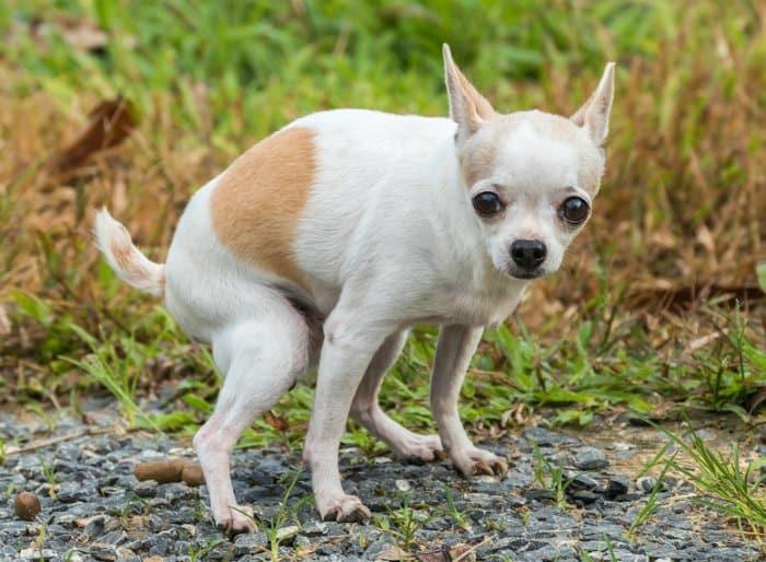 white and tan chihuahua pooping