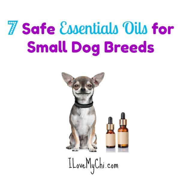 chihuahua with 2 bottles of essential oil