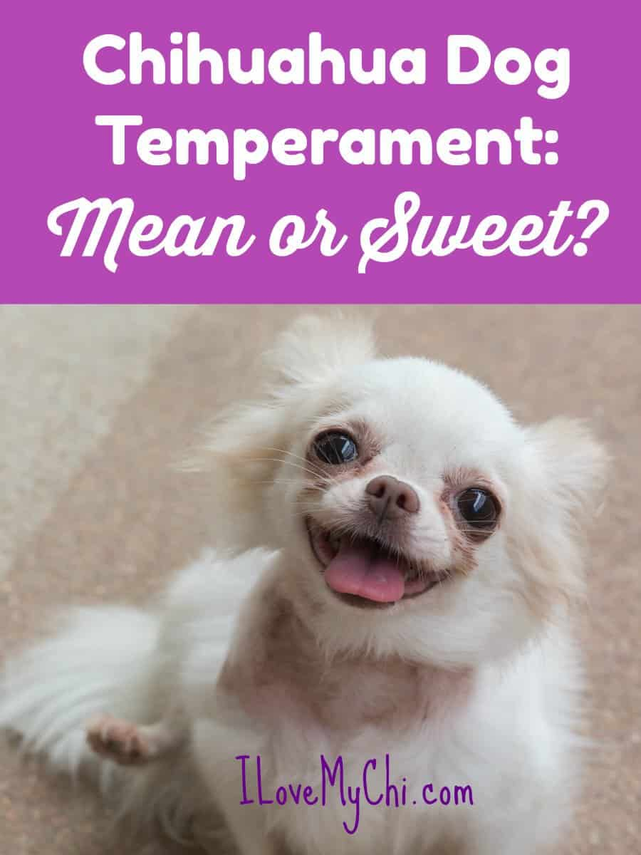 Chihuahua Dog Temperament: Mean or Sweet?