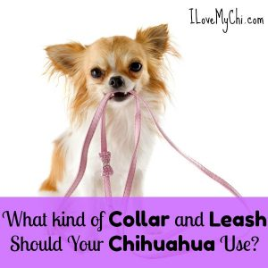 What kind of Collar and Leash Should Your Chihuahua Use?