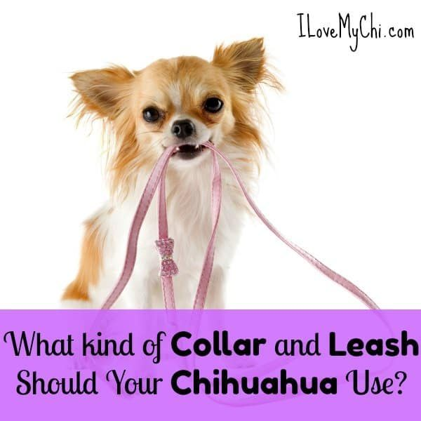 chihuahua holding leash in mouth