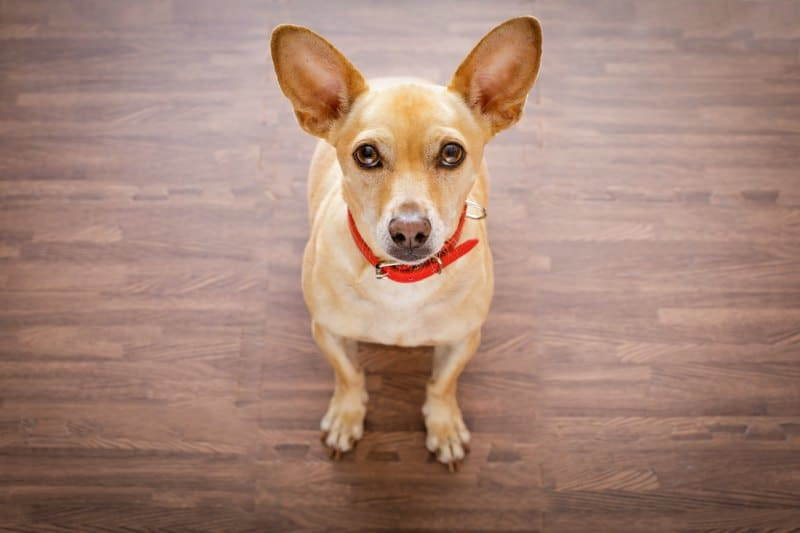 fawn chihuahua with red collar