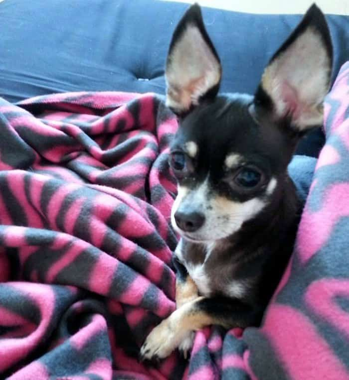 black and tan chihuahua laying on blankets