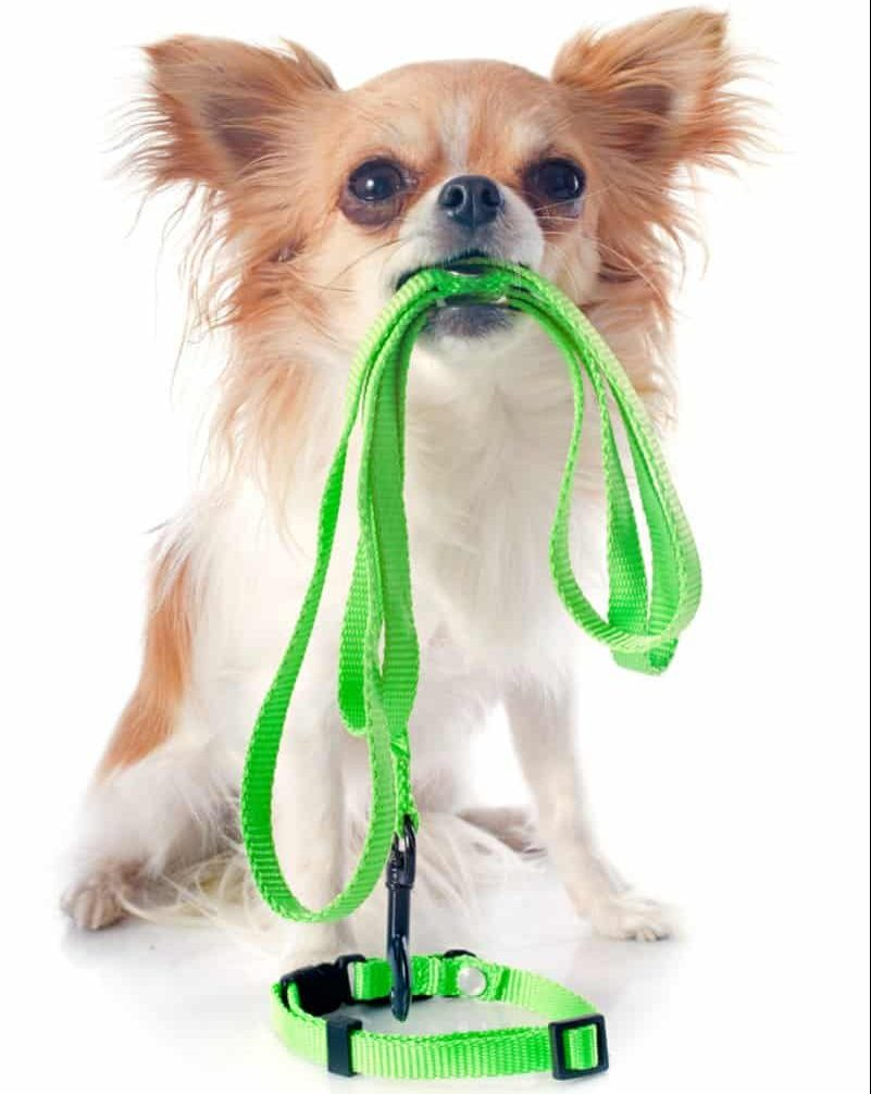 long haired chihuahua holding green leash in mouth