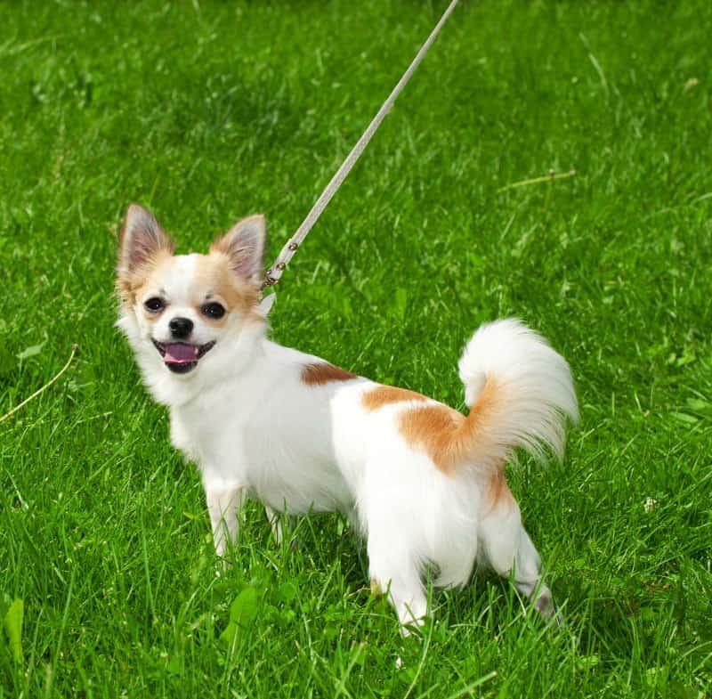 walking chihuahua on leash