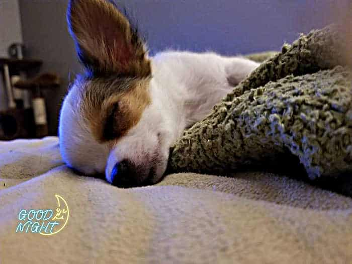 long hair chihuahua sleeping
