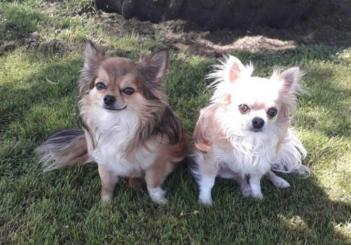 2 long hair chihuahuas sitting outside