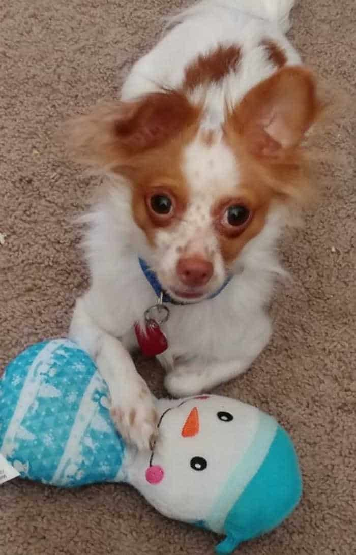 long hair white and red chihuahua