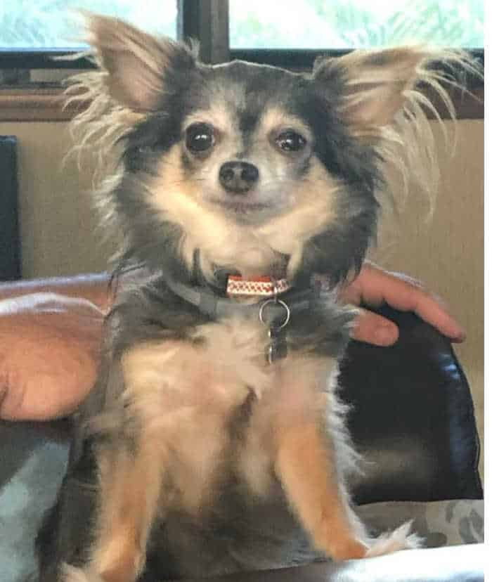 long haired chi sitting up