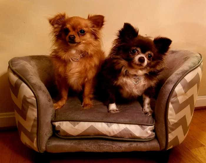 2 long haired chihuahuas sitting on tiny couch