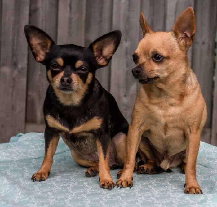 How Val's Chihuahua Picked Out Her Brother