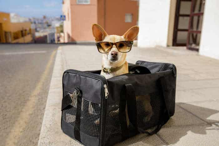chihuahua in travel bag wearing glasses