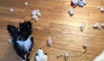 Boo the chihuahua puppy making a mess