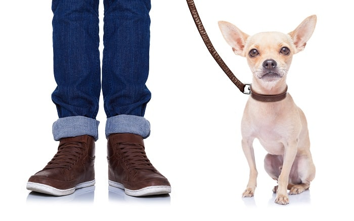 sitting chihuahua on leash