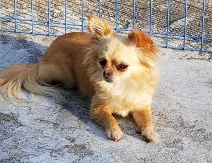 fawn colored long hair chihuahua