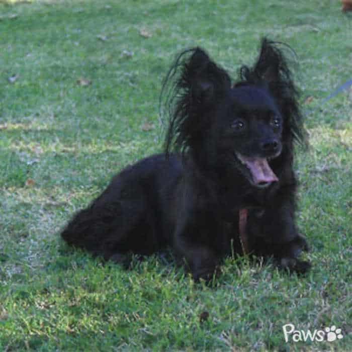 black long hair chihuahua