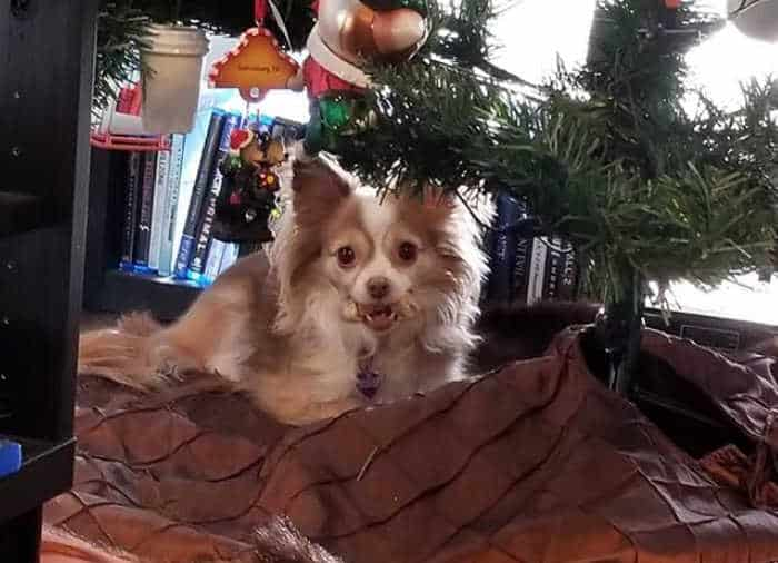 long hair chihuahua sitting under Christmas tree
