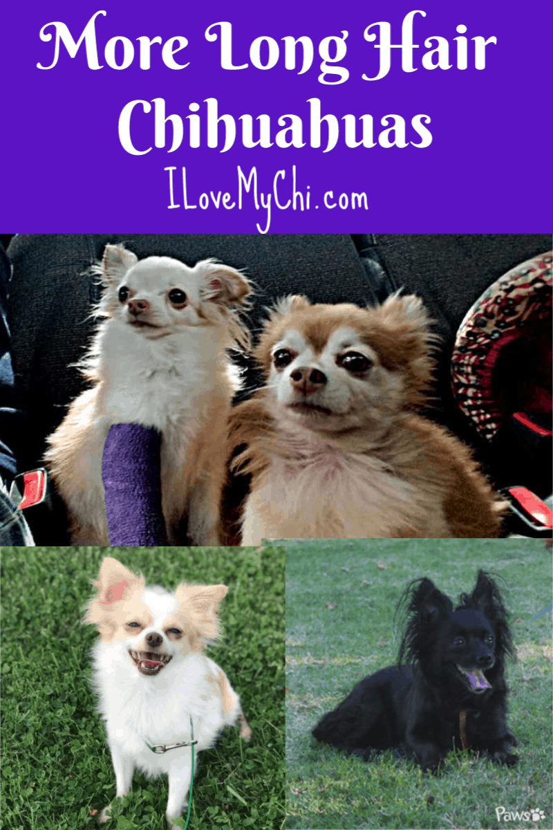 photos of beautiful long hair chihuahuas