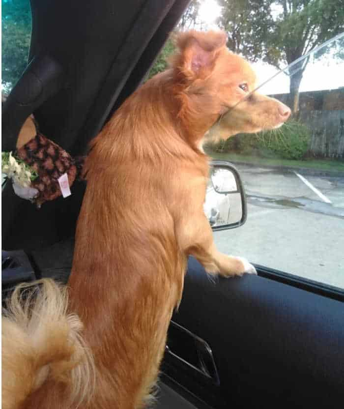 fawn long hair chihuahua looking out car window