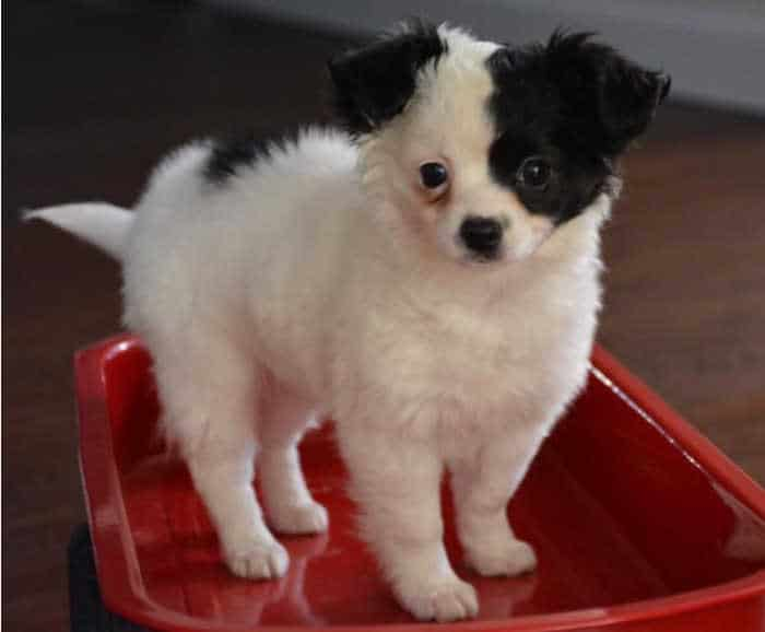 white and black chihuahua puppy