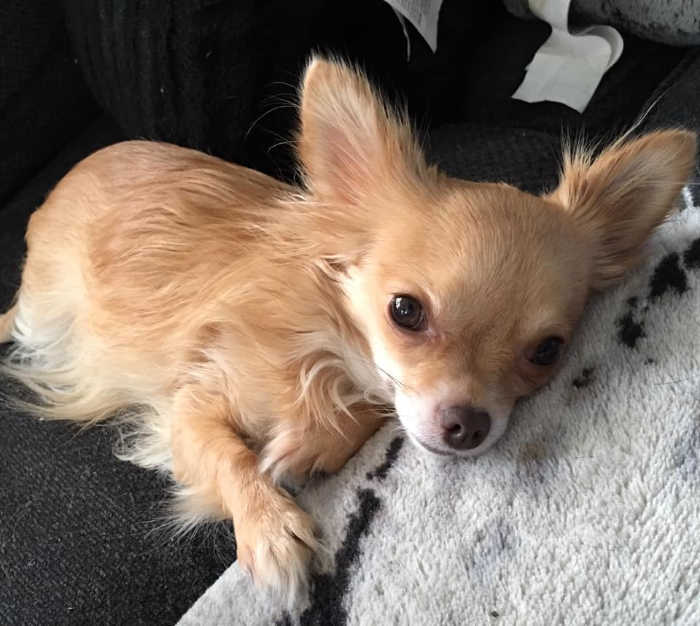 fawn colored chihuahua
