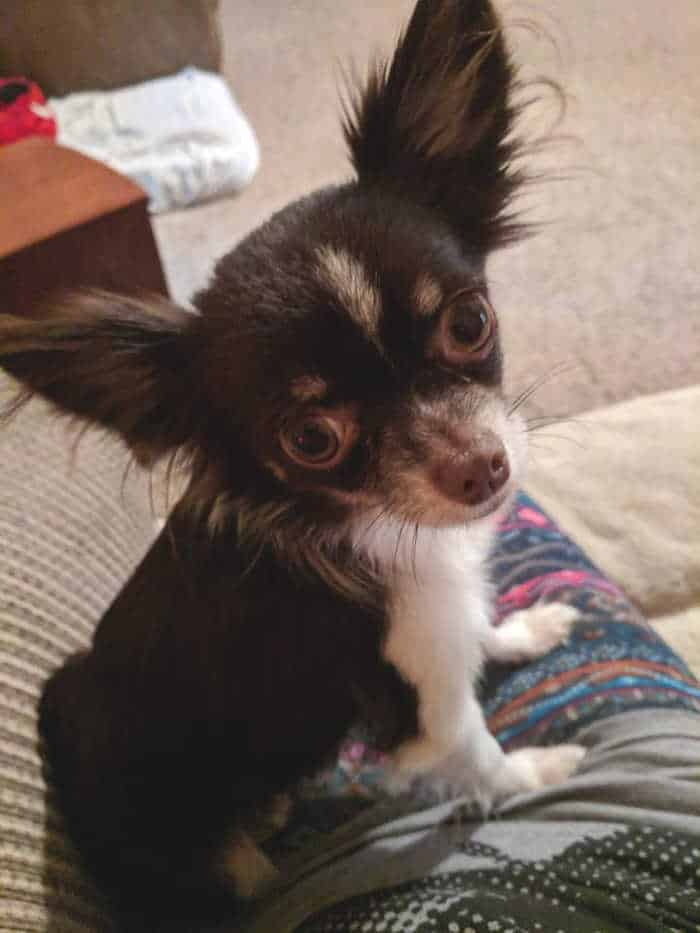 chihuahua with long hair