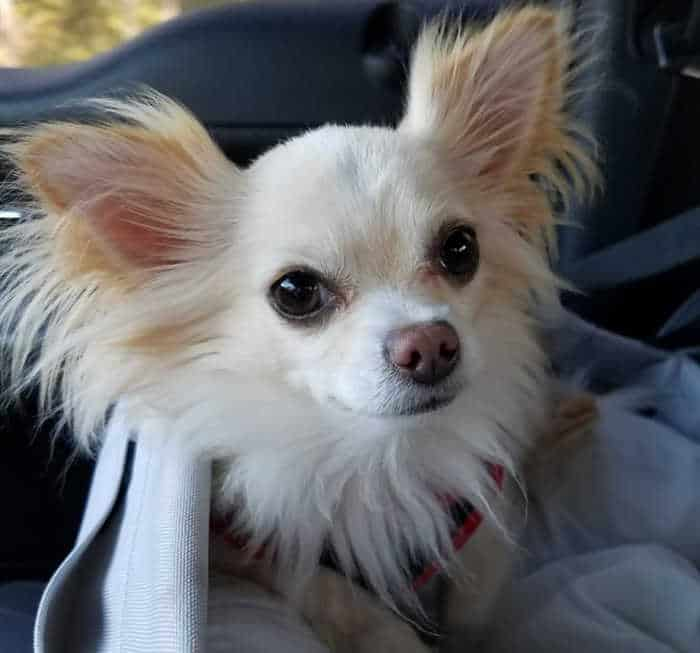 cream colored long hair chihuahua
