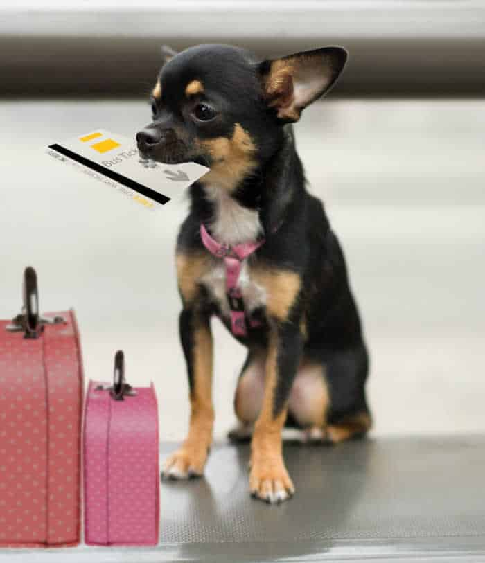 chihuahua with travel tickets in mouth and pink suitcases