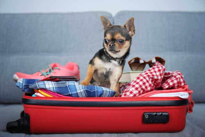 chihuahua in red suitcase