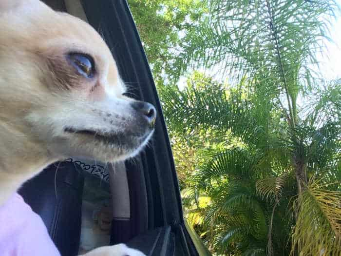 chihuahua looking out car window
