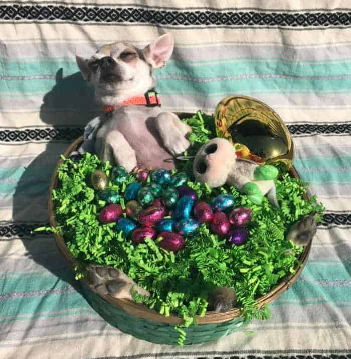 chihuahua sunning himself in an Easter Basket