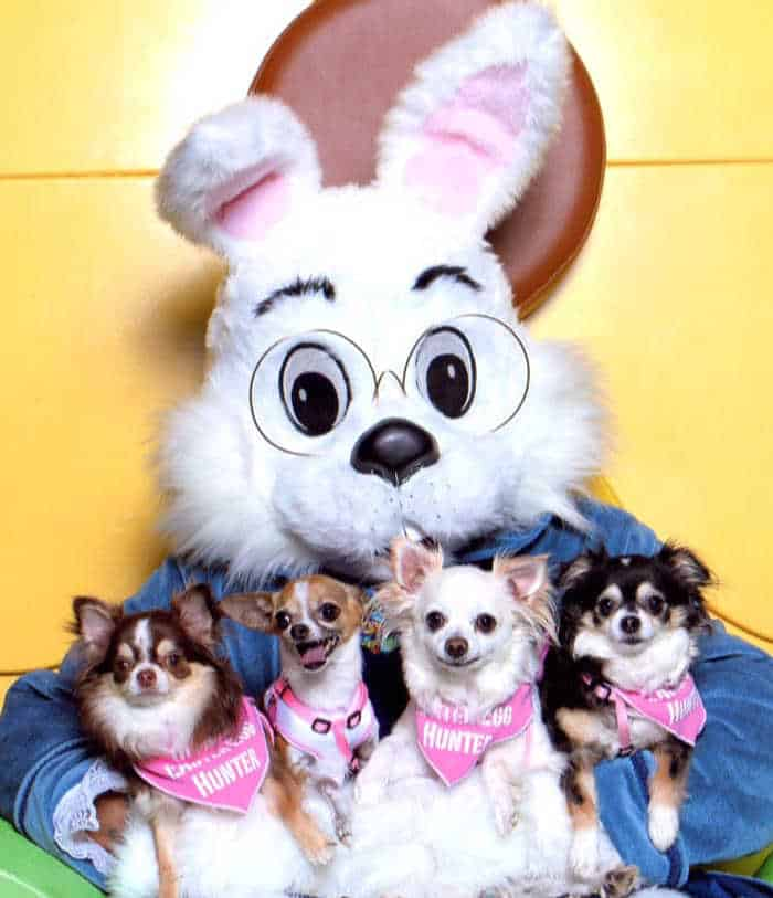 4 chihuahuas sitting on Easter Bunny's lap